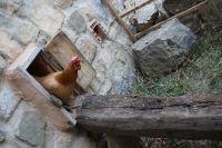 Vorsichtig verlaesst das erste Huhn den Gallinero